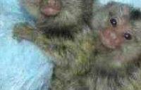 Capuchin opice na prijatie